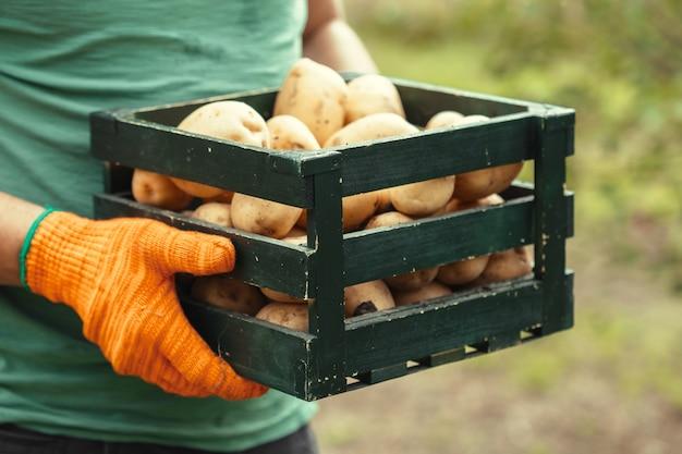 Batatas nas mãos no solo