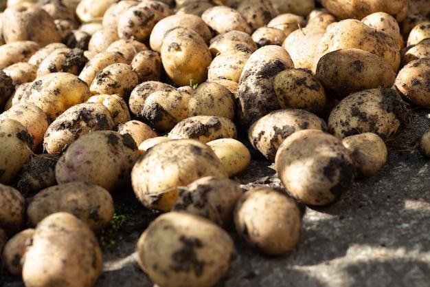 Batatas orgânicas frescas no campo.