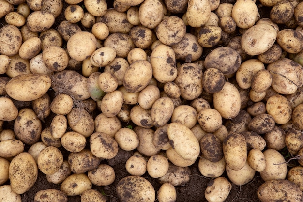 Batatas recém-colhidas em uma fazenda