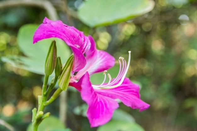 Bauhinia blakeana ou flor de orquídea de hong kong com uma licença verde
