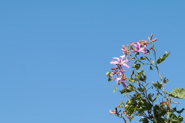 Bauhinia purpurea or orchid tree flor em árvore com fundo de céu azul