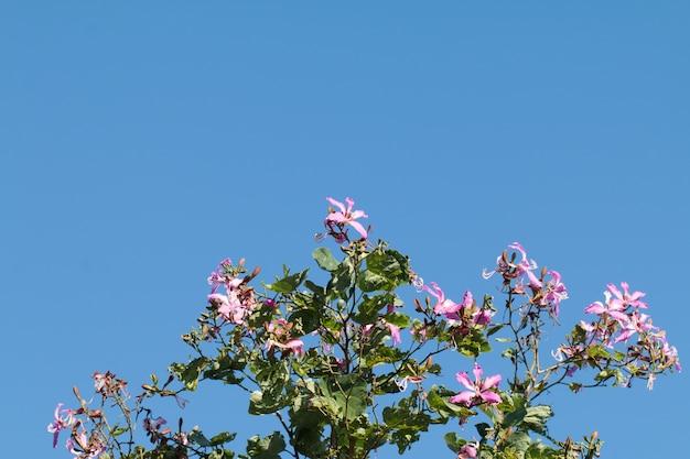 Bauhinia purpurea or orchid tree flor na árvore