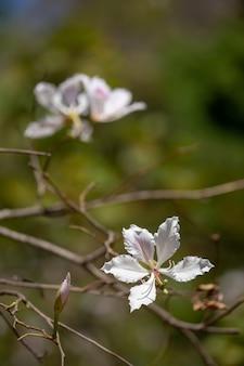 Bauhinia variegata árvore de orquídea roxa, uma espécie de família de plantas fabaceae.