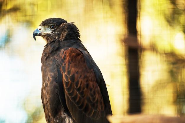 Bay-winged hawk