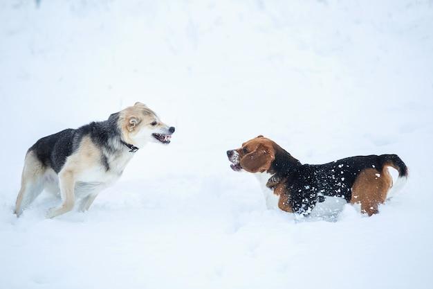 Beagle americano e cães pastores sem raça definida brincando e rosnando uns aos outros em um prado no inverno