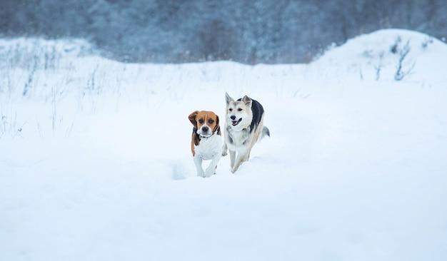 Beagle americano e cães pastores sem raça definida correndo