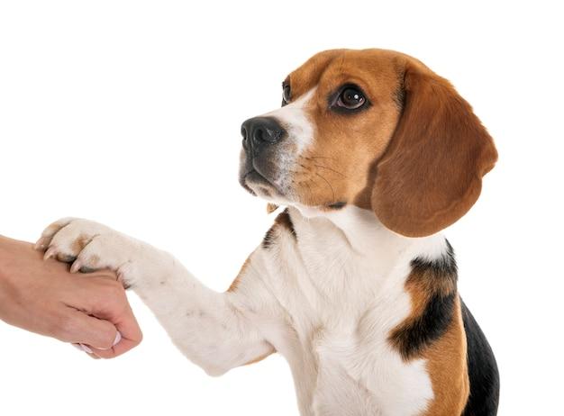 Beagle isolado