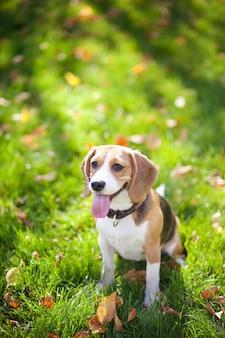 Beagle jogando na grama verde