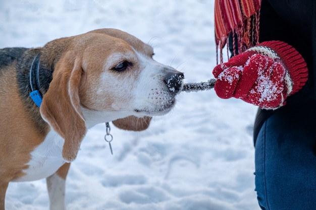 Beagle mordendo um pedaço de pau brincando com o proprietário em um parque de inverno com neve, treinamento foxhound