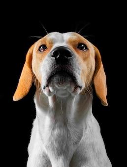 Beagle posando em um estúdio fotográfico sentado com um fundo preto