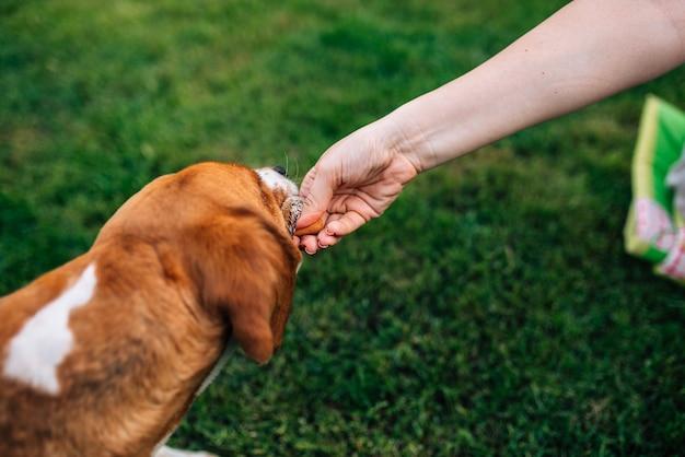 Beagle recebendo um lanche ao ar livre. fechar-se.