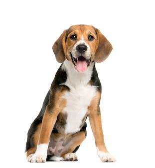 Beagles sentados e ofegantes