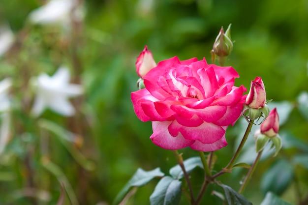Beautifull rosa vermelha e branca flor