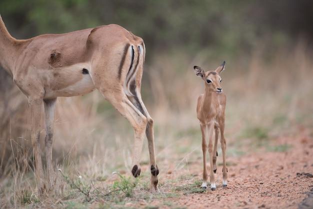 Bebê antílope caminhando junto com a mãe antílope