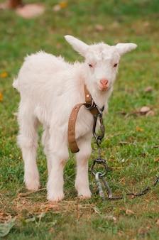 Bebê branco engraçado de cabra na grama verde