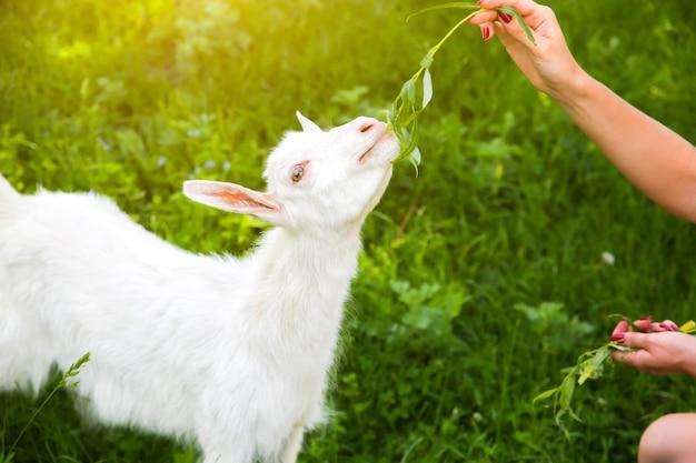 Bebê cabrito comendo salgueiro. a mulher está alimentando animais domésticos na natureza.