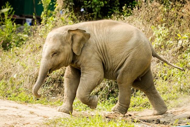 Bebê elefante asiático andando isolado na natureza