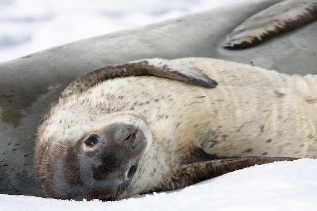 Bebê foca na paisagem de neve