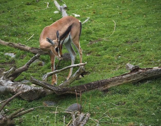 Bebê gazela na natureza
