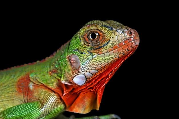 Bebé iguana vermelha no galho com fundo preto