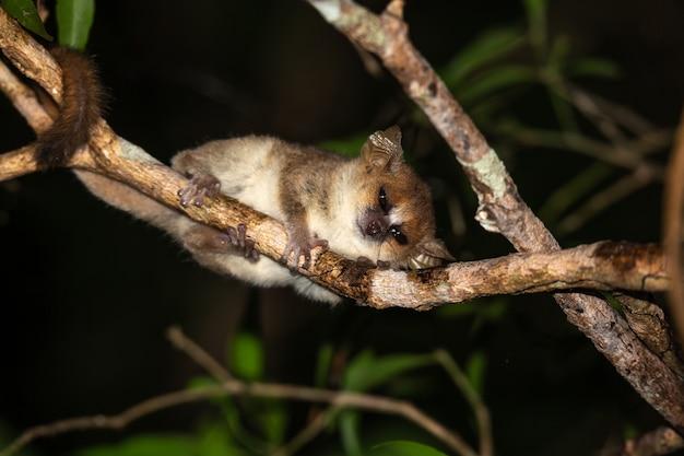 Bebê lêmure com cauda anelada na natureza
