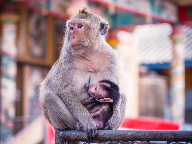 Bebê macaco está sentado entre os braços de sua mãe