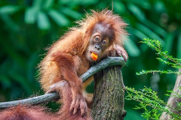 Bebê orangotango comendo frutas