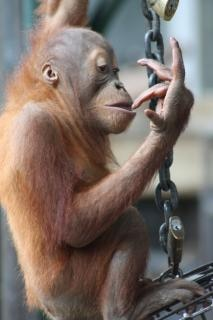 Bebê orangotango