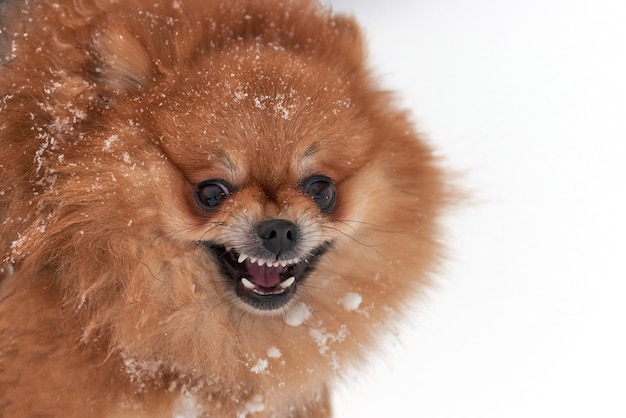 Bebê pomeranian spitz brincando em um dia de inverno