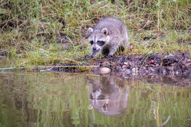 Bebê raccon reagindo ao seu reflexo na água à beira de uma lagoa