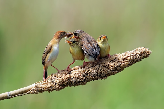 Bebê zitting pássaro cisticola esperando pela comida de sua mãe