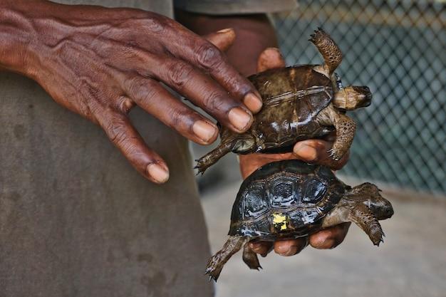 Bebês tartarugas aldabra em um incubatório na ilha curiouse, seychelles