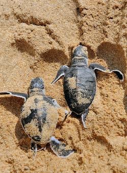 Bebês tartarugas se movendo em direção ao oceano