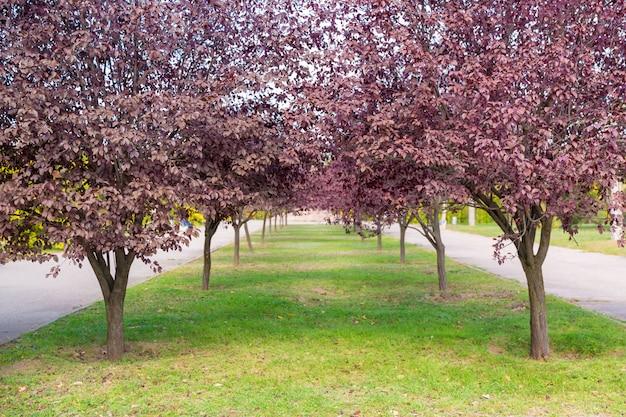 Beco de árvore com folhas roxas, paisagem de outono, parque da cidade