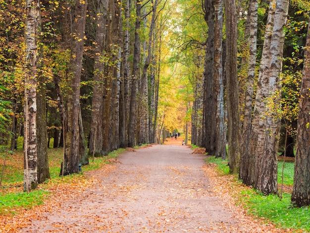 Beco de bétulas com limoeiros no outono,