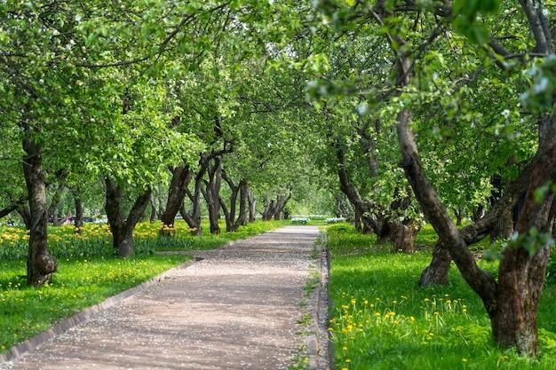 Beco de trilha no jardim florido de maçã na primavera