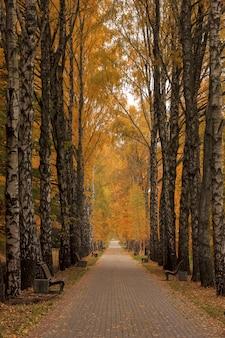 Beco de vidoeiro amarelo nublado dia de outono