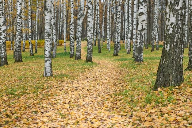 Beco do outono vidoeiro. bela trilha de floresta com folhas caídas. tempo calmo. ninguém. tempo de mudança de temporada.