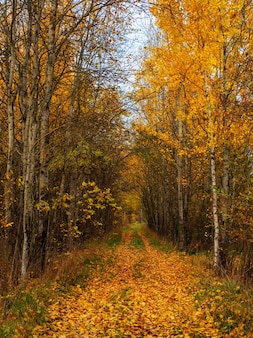 Beco ensolarado com bétulas na floresta de outono. queda de folhas de outono. um caminho em um parque ensolarado de outono com folhas caindo. visão vertical.
