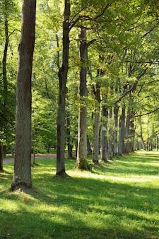Beco no parque de verão. troncos de árvores altas ao longo do caminho de pedestres