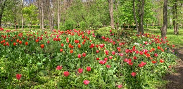 Becos de tulipas no arboreto kropyvnytskyi em um dia ensolarado de primavera