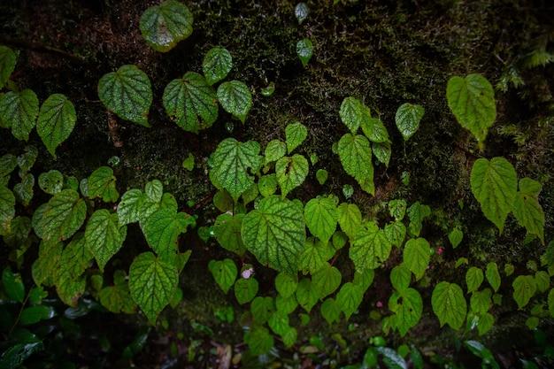 Begônia na pedra na temporada de primavera