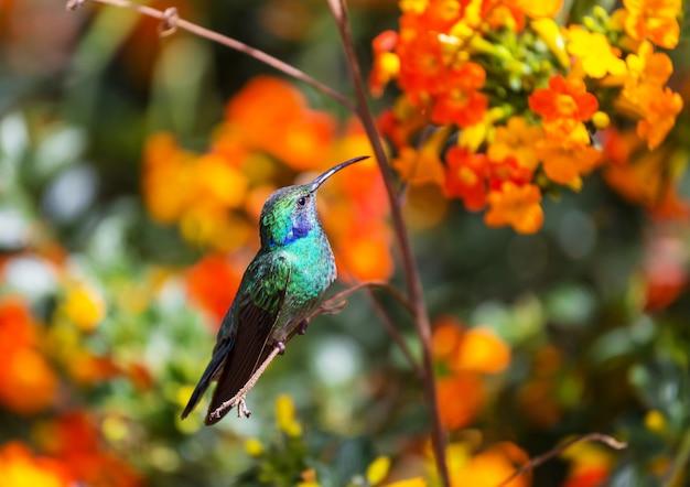 Beija-flor colorido na costa rica, américa central Foto Premium
