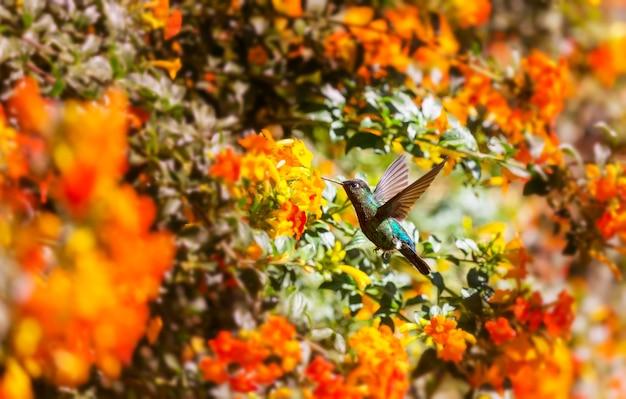 Beija-flor colorido na costa rica, américa central