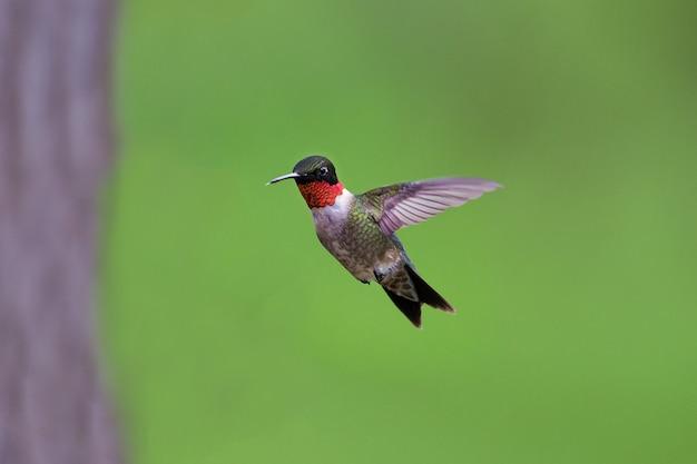 Beija-flor com garganta de rubi voando no fundo verde borrado