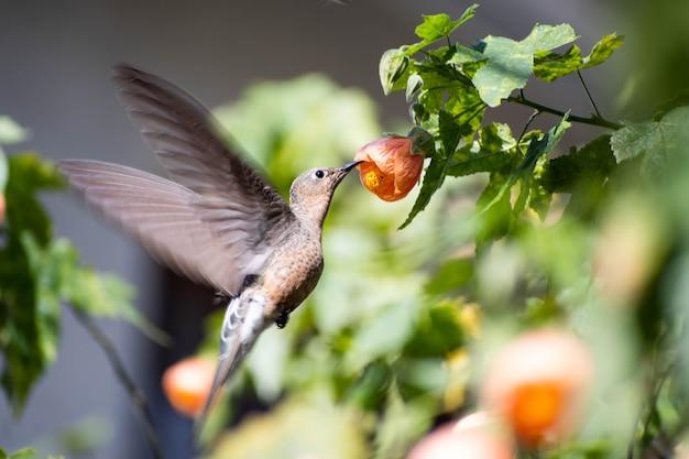 Beija-flor gigante comendo de uma flor de abutilon