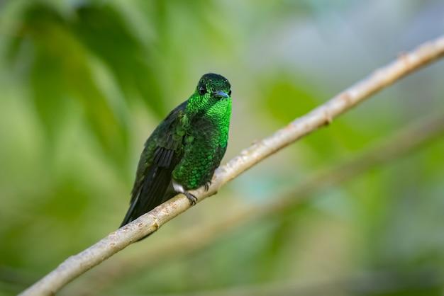 Beija-flor mostrando a iridescência de sua plumagem em um galho diagonal