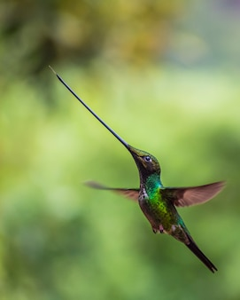 Beija-flor pássaro verde espada-faturada