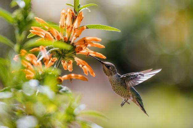 Beija-flor verde e cinza voando sobre flores amarelas