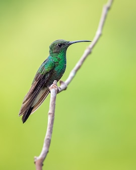 Beija-flor verde empoleirado em um galho vertical com um belo fundo